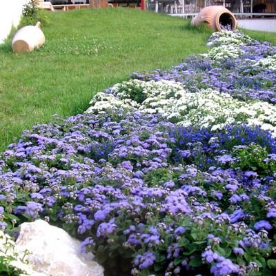 yau blog_rau cu flori albastre la casa comana