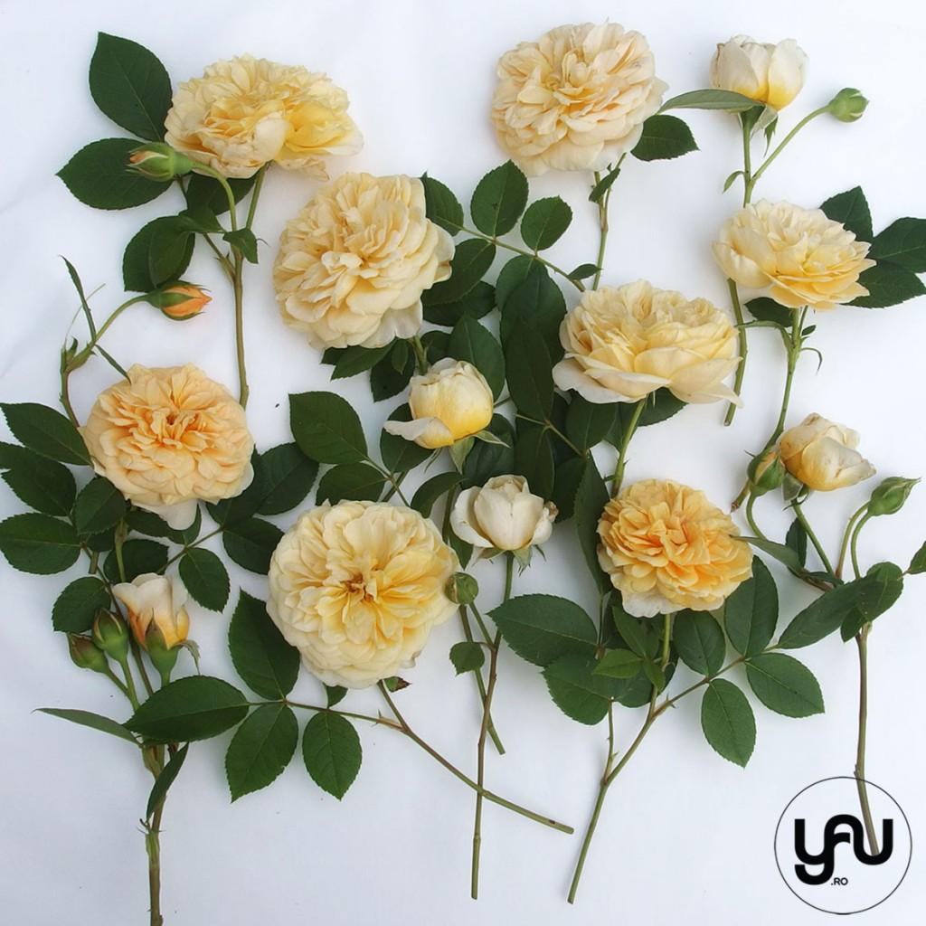 TRANDAFIRI DE GRADINA _ geometria trandafirilor _ yau concept_yau flori_elena toader (2)